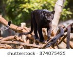 Panther Black On Trees.