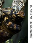 Small photo of Amethystine Python (Morelia amethistina)