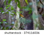 Small photo of Rufous-collered Kingfisher (Actenoides concretus) in Danum Valley, Borneo