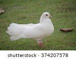 White Dove In Thailand