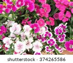 Flowerbed Of Dianthus Barbatus
