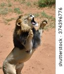 Big Lion Male Stands On His...
