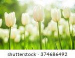 delicate white tulips bloomed... | Shutterstock . vector #374686492