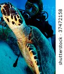 Hawksbill Turtle With Diver.  ...