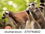 two adult lemur in the zoo in... | Shutterstock . vector #374796802