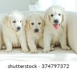 Stock photo three yellow lab puppies 374797372