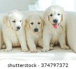 Three Yellow Lab Puppies.