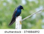Male Purple Martin Standing on a Post, British Columbia, Canada