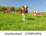 cows in emmental region ...