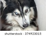 husky dog with multicolored eyes | Shutterstock . vector #374923015
