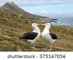 Small photo of Pair of black browed albatrosses on nest, ready to mate, cleaning feathers each to other, landscape background, South Georgia Island, Antarctica