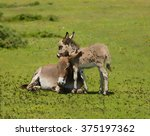 Mother And Baby Donkey Showing...