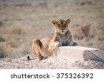 single female lion  panthera... | Shutterstock . vector #375326392