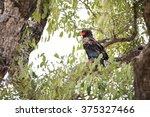 bateleur  terathopius ecaudatus ... | Shutterstock . vector #375327466