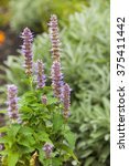Small photo of Agastache rugosa flowers