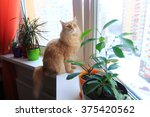 Stock photo ginger cat sitting on the windowsill with house plants looking out the window watching birds 375420562