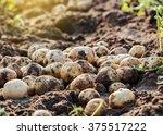 Fresh Potatoes In Field.