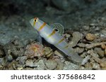 Small photo of Randall's Goby (Amblyeleotris randalli )