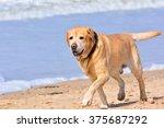 Close Up Of Big Brown Labrador...