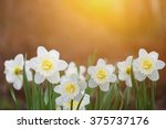 White Daffodils In Sunset Ligh...