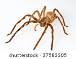 African Rain Spider On A White...