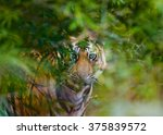 wild bengal tiger looks out...   Shutterstock . vector #375839572
