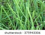 Small photo of Japanese bunching onion's fresh green leaves (Allium fistulosum)