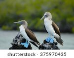Blue Footed Boobies   Galapago...