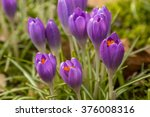 Crocus Buds Flowering