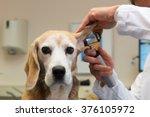Stock photo ear examine by the veterinarian 376105972