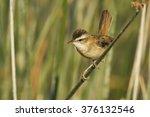 Small photo of Warbler Moustached Warbler / Acrocephalus melanopogon