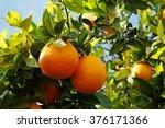 Ripe Organic Oranges On The...