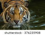 bengal tiger swimming show head ... | Shutterstock . vector #376235908