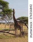 A Rothschild's Giraffe...
