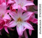 Small photo of Belladona Lily flowers, Cornwall, England, UK.