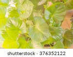 Small photo of Chinese Taro (Alocasia cucullata)