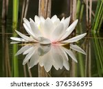 White Water Lilly In Pond And...
