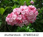 Mountain Laurel From Nc