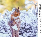 red squirrel in winter  county...   Shutterstock . vector #376960762