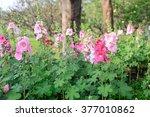 Beautiful Pink Hollyhock...