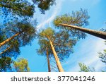 Small photo of Tall pine trees abut the tops into blue sky .