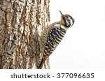 Female Ladder Backed Woodpecker ...