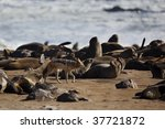 Black-backed jackal sneaking through fur seal colony at the Skeleton Coast - stock photo