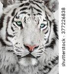 elegant white tiger portrait | Shutterstock . vector #377226838