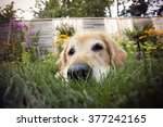 Stock photo golden retriever dog with a fish eye lens 377242165