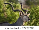 Greater Kudu Male Portrait