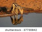 Black-backed jackal drinking in the Kalahari desert - stock photo