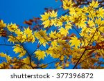 glowing yellow maple leaves  ... | Shutterstock . vector #377396872