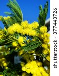 Small photo of Acacia dealbata