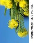 Small photo of Flowers Acacia dealbata